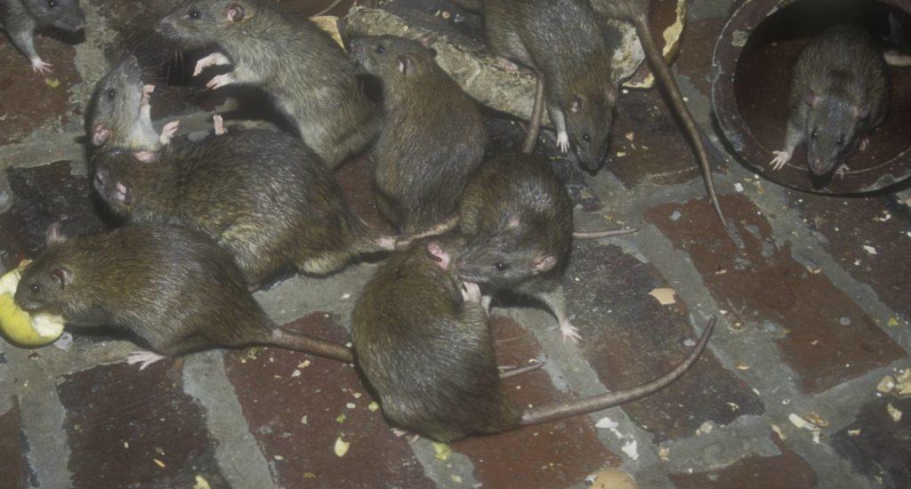 уничтожение крыс в Донецке